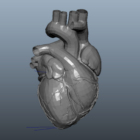 Anatomy Animated Human Heart