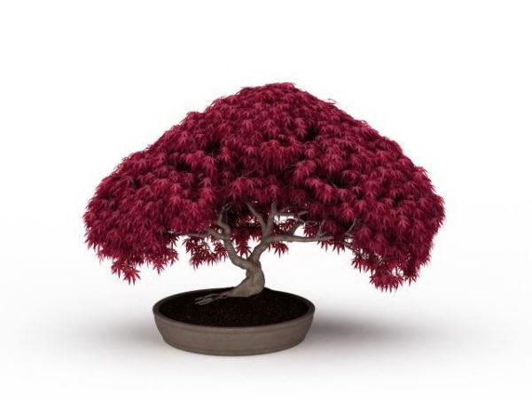 Punavaahterakasvien bonsai