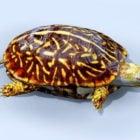 Vahşi deniz kutusu kaplumbağa