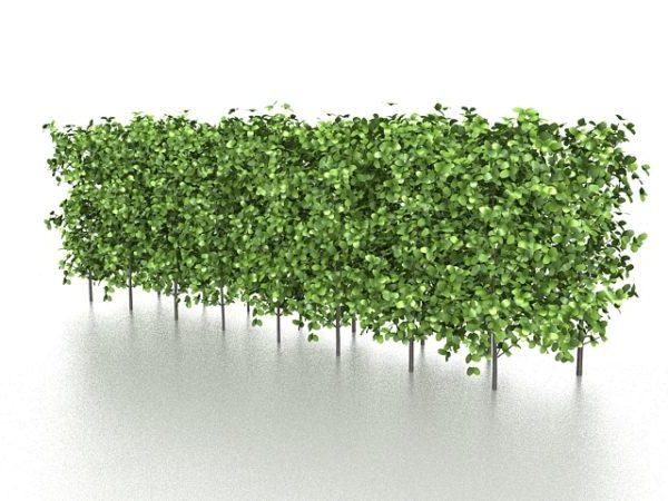 Evergreen Hedge puutarhakasvit