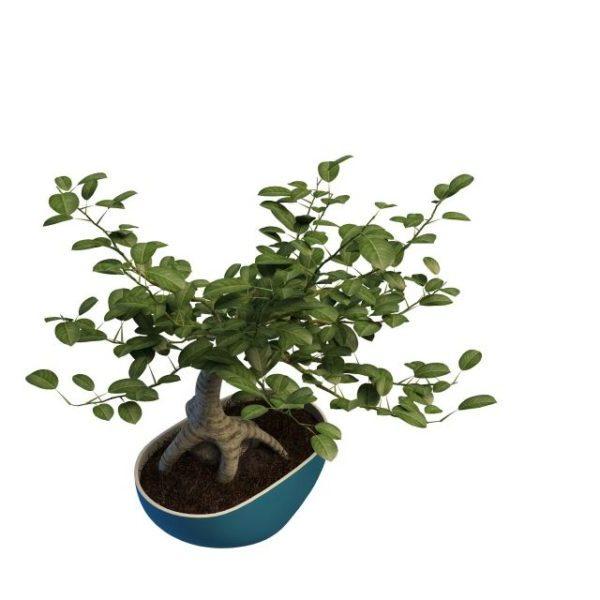 Ficus Bonsai -puukasvi