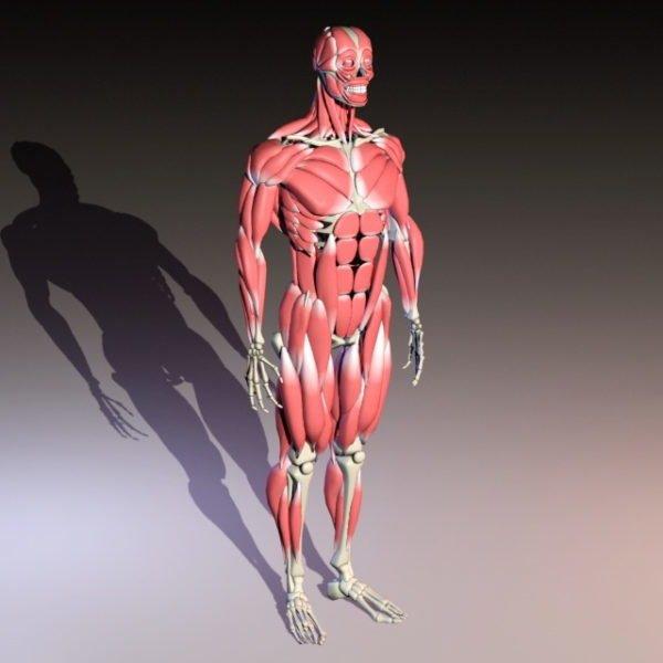 تشريح الهيكل العظمي للجسم مع العضلات