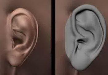 تشريح الأذن البشرية
