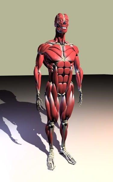 تشريح العضلات تشريح