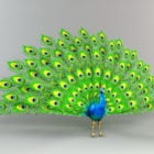 Wild Peacock Displaying Feathers