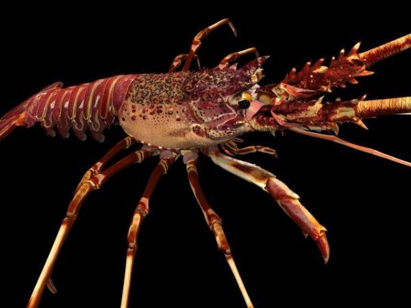 Animal Spiny Lobster