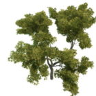Outdoor Young Oak Tree