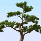 Nature Japanese Pine Tree