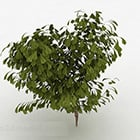 Ovale Blätter Buschbaum
