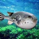 Морская пятнистая рыба фугу