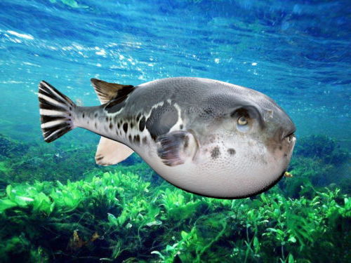 Sea Spotted Puffer Fish