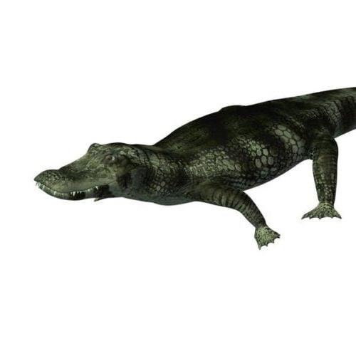 Caiman krokotiili