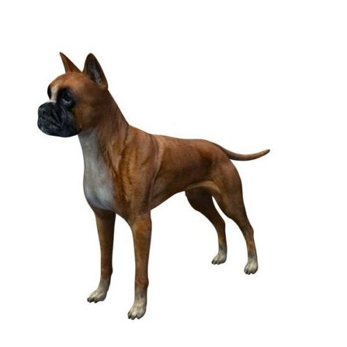 German Boxer Dog