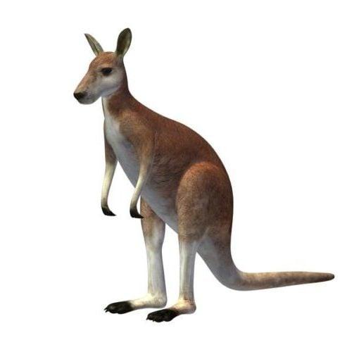 Australian kenguru