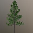 شجرة القيقب الطبيعة V1