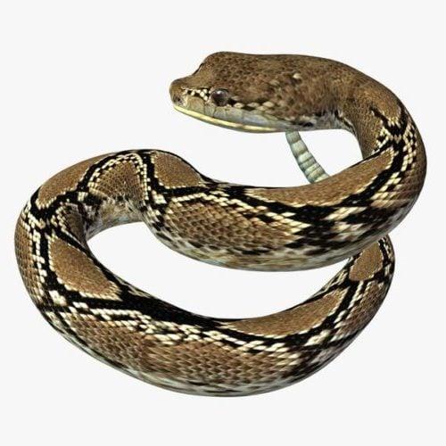 Villi Rattle-käärme