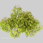 Camphor Sapling Tree