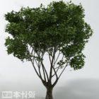 Breitblättrige Baumpflanze