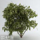 Breitblatt-Gartenpflanze