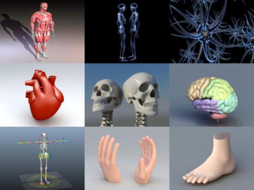 20 مجموعة نماذج ثلاثية الأبعاد مجانية للتشريح البشري